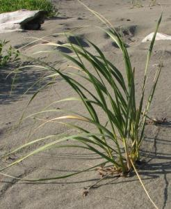 A short drive from Olympia, grass in the sand at West Port Beach, Washington, inspires my creativity.